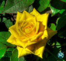 portland rose yellow by DCRIII
