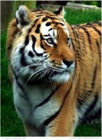 Siberian Tiger by In-the-picture