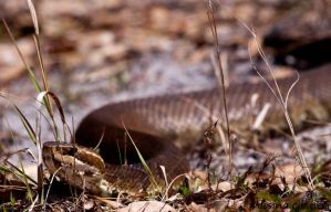 water moccasin by Aries18o18