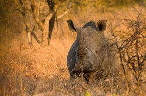 Another white rhino by alecd