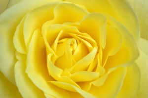 yellow rose by jeanbeanxoxo