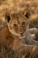 African Lion 41 by catman-suha