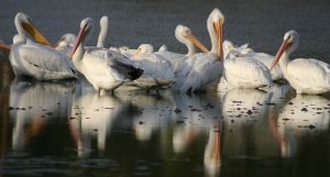 Preaning Pelicans by sticks228