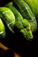 Green Tree Boa Snake 2 by Art-Photo