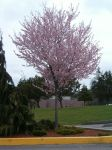 Pink Tree by uj-stock