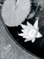 Lotus by jacobjellyroll