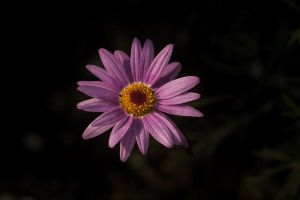 PiNK FLOWER by EtemColaK