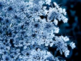 Queen Anne's Lace by angelicque