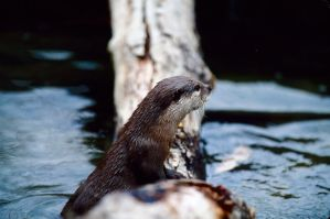 Asian Otter 3 by Art-Photo