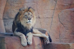 Lion by Karl-B