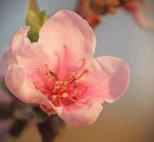 blossom by whimsicalworks
