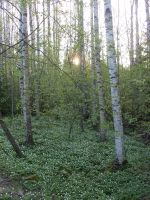 Birches and wood anemones by Naraime