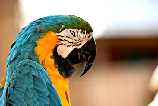Parrot.. by Barhomi