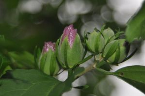 flower bud 3 by xim0nfir3x
