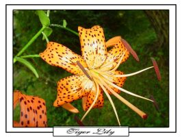 Just another Tiger Lily by mtbp