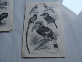 Bird Lithograph 3 SOLD by Lot1rthylacine