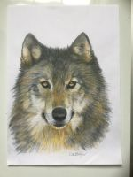 Grey Wolf by Greywolf42