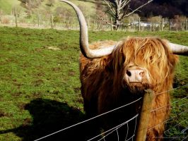 Highland cow by NeverBTheSame