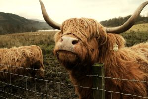 Hairy Coo by Beachrockz4eva