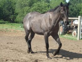 blue roan II by celtic-stock