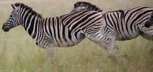 Zebra run by Canyx