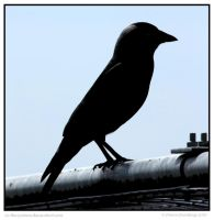 Brave Jackdaw by In-the-picture
