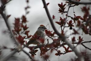 Chipping Sparrow by SR-Raptorbolt