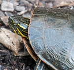 Woodlake Turtle by sequential