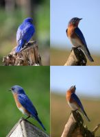 Eastern Bluebird Pack 01 by Thy-Darkest-Hour