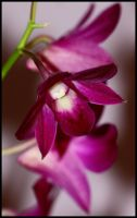 Orchid by crissial