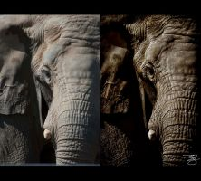 Sepia Elephant: Before/After: by braxtonds