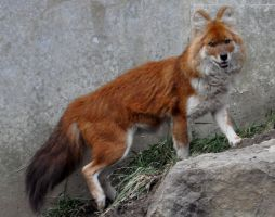 dhole by Pawnee