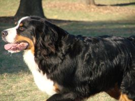 Bernese Mountain Dog by misspoho