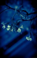 Blue jasmine... by Yohao88DG
