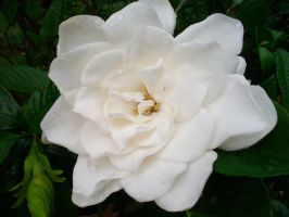 This is a Jasmine. by Evaresca