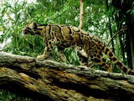 Clouded Leopard by Cowgirlsplash