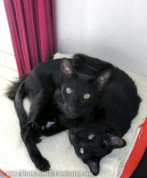 Black cat with two heads Oo by BlackMysticA