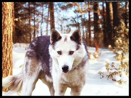 Winter Wolfdog by xxtgxxstock