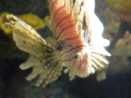 Lonely Little Lionfish by uguardian
