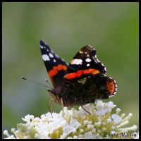 Red Admiral IV by Caelitha