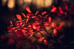 Autumn Blueberry Leaves by Nitrok