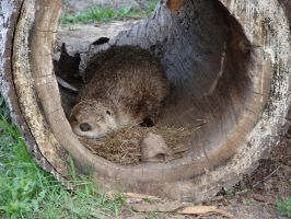 Sleepy Otter in a Hollow Log by FantasyStock
