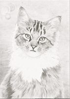 Maine Coon ACEO by whitetippedwaves