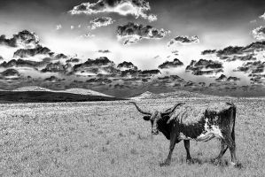 Cow Study by clippercarrillo