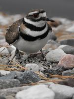Mother Killdeer by underoath2458