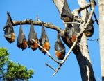 Bats on a branch 1 by wildplaces