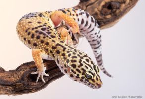 The curious gecko by AngiWallace