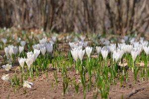 Alpin flowers - Crochi by albyper84