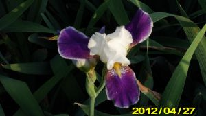 Old Time Iris Called Joseph's Coat by Hillbillygirl