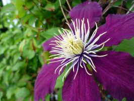 Clematis by Stygma
